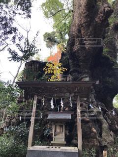 来宮神社 御神木 クスノキの写真・画像素材[2886297]