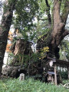 来宮神社 御神木 クスノキの写真・画像素材[2886298]