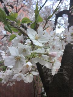 桜の写真・画像素材[2033487]