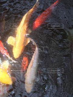 鯉の写真・画像素材[2045529]