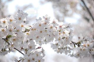 桜の写真・画像素材[2047916]