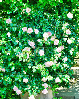 薔薇の写真・画像素材[2150487]