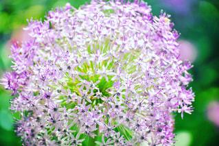 紫の花の写真・画像素材[2150538]