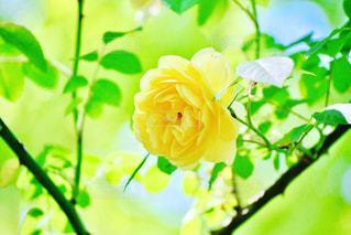 黄色い薔薇の写真・画像素材[2150547]