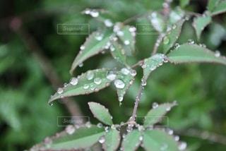 雨に濡れる南天の葉の写真・画像素材[2581828]