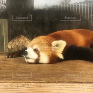 レッサーパンダの写真・画像素材[2643358]