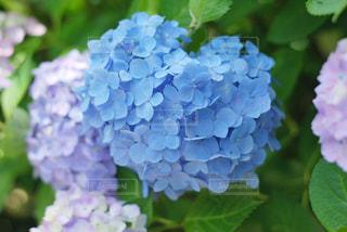 月照寺の紫陽花の写真・画像素材[3328500]