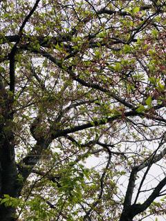 葉桜の写真・画像素材[2037459]