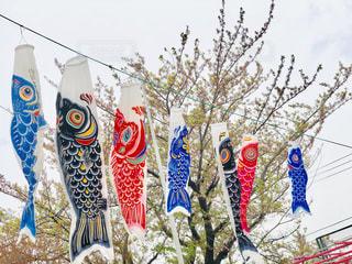 鯉のぼりと葉桜の写真・画像素材[2037466]
