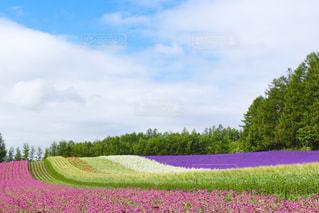 ラベンダー畑の写真・画像素材[2122400]