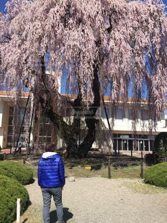 しだれ桜が満開の写真・画像素材[2196840]