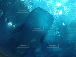 下からみた神秘的なジンベイザメの写真・画像素材[2080771]