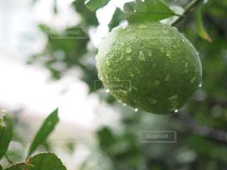 まだ青い蜜柑の写真・画像素材[2040374]