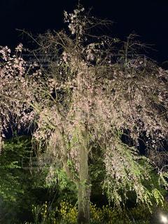夜桜見物の写真・画像素材[2041220]
