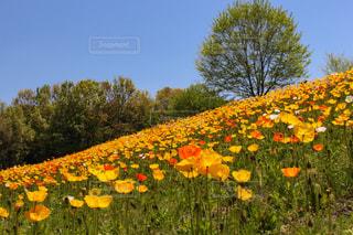 イエローとオレンジ色のチューリップの丘の写真・画像素材[2045085]