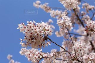 青空と薄いピンク色の桜の写真・画像素材[2064108]