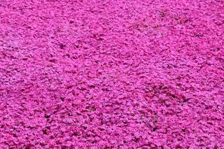 芝桜のじゅうたんの写真・画像素材[2065348]