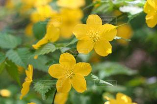 ヤマブキの花のクローズアップの写真・画像素材[2065358]