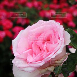 ピンク色のバラのクローズアップの写真・画像素材[3301942]