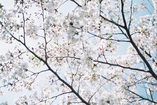 桜の写真・画像素材[2454743]