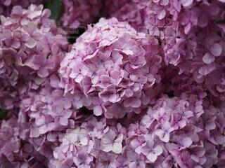 紫陽花の写真・画像素材[3788025]