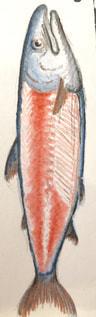 鮭の写真・画像素材[2051298]