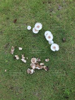 芝生に生えたキノコの写真の写真・画像素材[2266315]