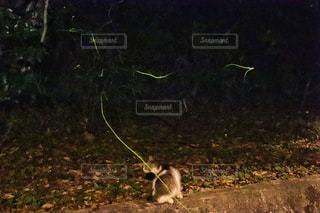 猫と蛍の写真・画像素材[2209513]