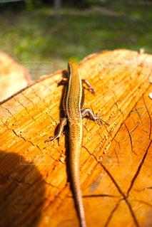 カナヘビの写真・画像素材[2084769]