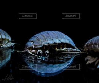 ダイオウグソクムシの写真・画像素材[2976024]