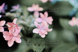 咲きかけの。の写真・画像素材[2218052]