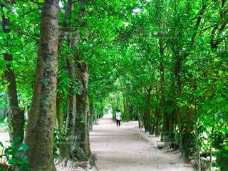 沖縄のフクギ並木の写真・画像素材[2066120]