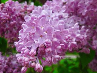 雨上がりのお花の写真の写真・画像素材[2077153]