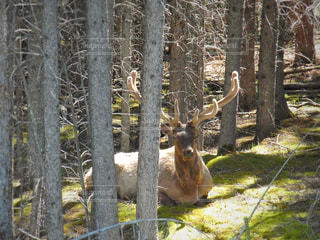 道路からすぐ近くの森の中に座っていたエルク。の写真・画像素材[2080718]