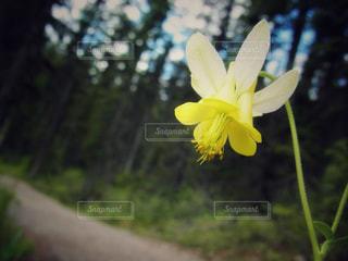 一輪の黄色い花の写真・画像素材[2098980]