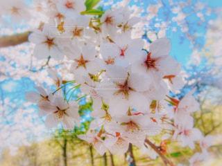 カナダ、トロントで咲いていた桜の花の写真・画像素材[2110561]