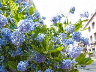 太陽に向かって咲いている青いお花たち!の写真・画像素材[2111048]
