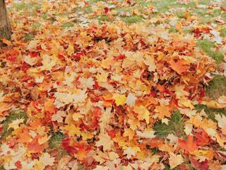 たくさん集まった色とりどりのメープルリーフの写真・画像素材[2118445]