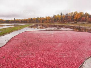 収穫時期のクランベリーの写真・画像素材[2133333]
