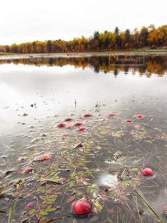 背景の紅葉と沼でクランベリーが育っている様子の写真・画像素材[2133421]