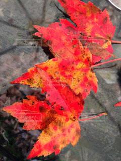 赤く染まったメープルリーフの落ち葉の写真・画像素材[2133541]