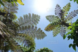 太陽の光を浴びてスクスク育つシダの葉の写真・画像素材[2145140]