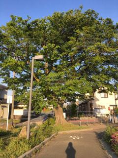 大きい木と影の写真・画像素材[2085819]