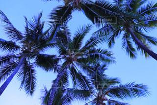ヤシの木の写真・画像素材[2050759]