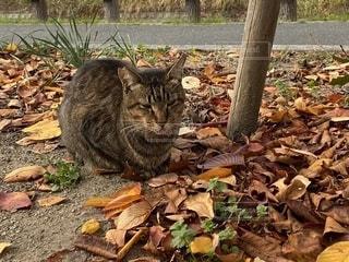 舌を出して寝ているキジトラの野良猫の写真・画像素材[2790130]