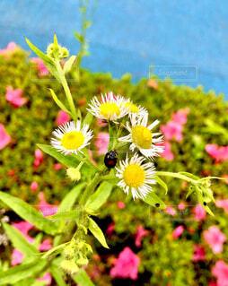 花にとまるてんとう虫の写真・画像素材[4510206]