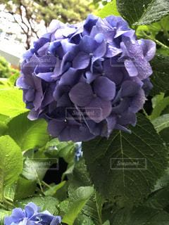 紫陽花雨の日の紫陽花はいいねの写真・画像素材[2188503]
