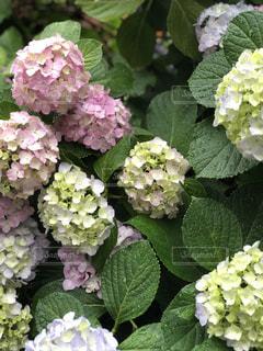 紫陽花の写真・画像素材[2188553]