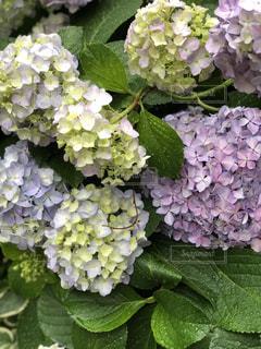 紫陽花の写真・画像素材[2188555]