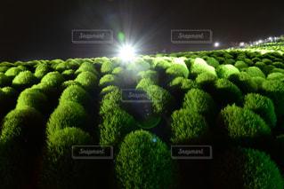 緑コキアの写真・画像素材[2395214]